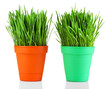 Green grass in pots isolated on white