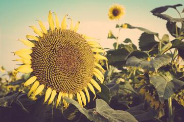 sunflower field against blue sky vintage retro