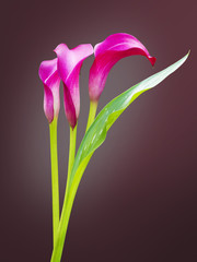 beautiful calla lily isolated