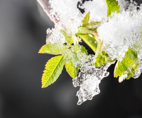 snow on the small green leaves in spring. close-up