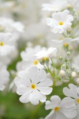 Pure white primrose.