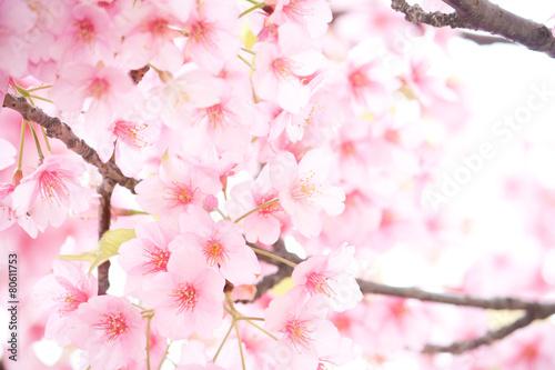 Papiers peints Cerises 桜