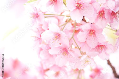 Keuken foto achterwand Kersen 桜