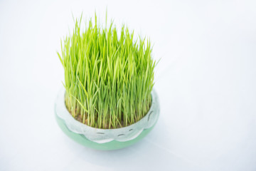 Young rice sprout growing in small jardiniere