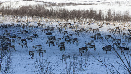 A group of Reindeers