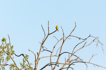 Yellowhammer on a branch