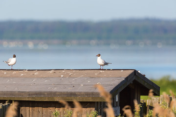 Black headed gulls on a roof