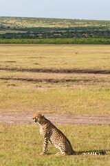 Cheetah sitting and looking