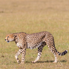 Cheetah walk in the grass