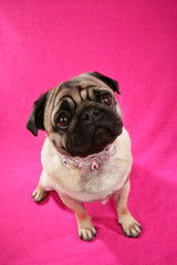 Süßer Mops auf pinkem Hintergrund blickt nach oben
