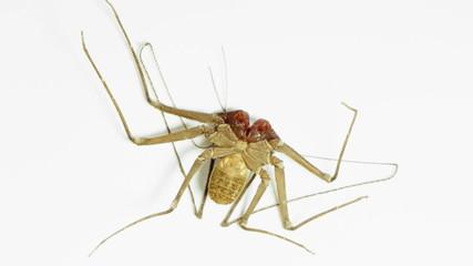 Tailless Whip Scorpion Underside
