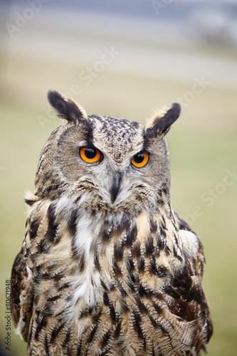 Plexiglas Uil Eagle Owl/An eagle owl
