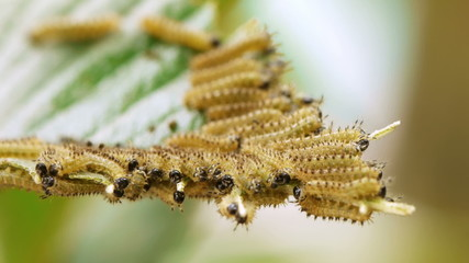 Moth Caterpillars On Leaf