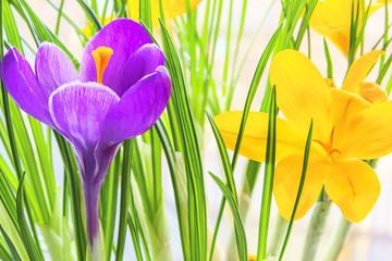 Purple and yellow crocus close up