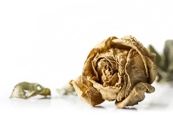 Dry rose on white background