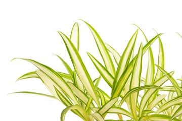 phalangère, plante araignée, fond blanc