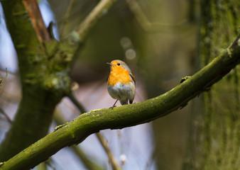 European robin sitting on a branch
