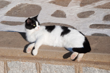 Greek cats - Beautiful black and white domestic cat lies on the