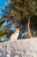 Greek cats - Beautiful home white- red cat sitting on the fence
