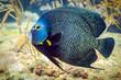 French Angelfish closeup - 80631940