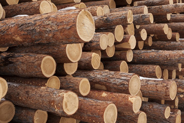 Pine timber ready for shipment by rail