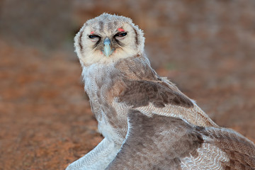 Young giant eagle-owl sitting with open wings