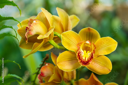 Papiers peints Orchidée Bouquet of yellow cymbidium.