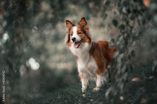Poster Proud border collie dog