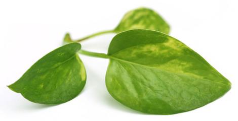 Epipremnum aureum or Money plant