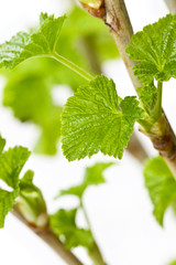 young branches of currants on a white background