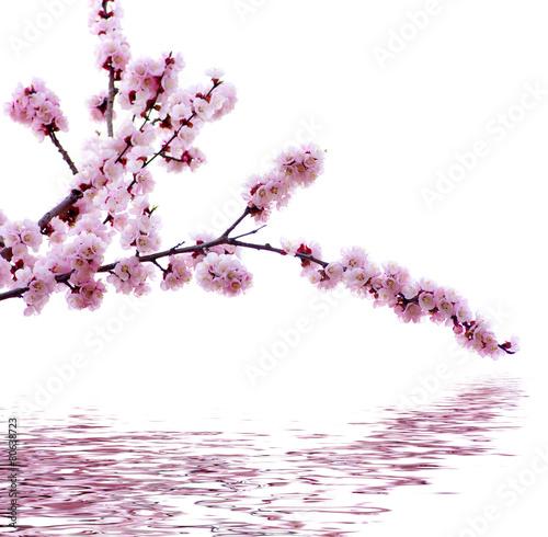 Fotobehang Kersen pink blossoms