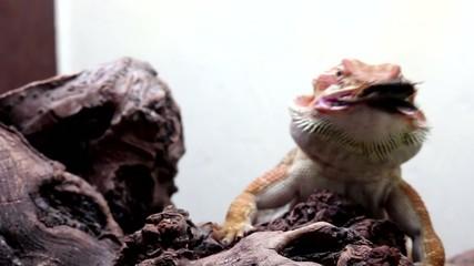 Dragon Barbudo o Pogona, comiendo una cucaracha, primer plano