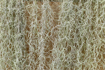 Spanish Moss or Tillandsia usneoides plant for background.