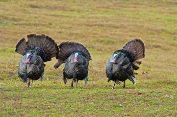 Three turkeys in morning light in Cades Cove.