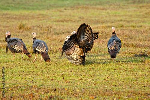 Papiers peints Poules Flick of wild turkeys in Cades cove.