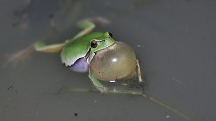 4Keuropean tree frog call/Hyla meridionalis/raganella in canto