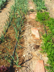 carrots leeks garlic and onions