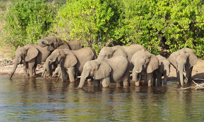 group of Elephants in Botswana
