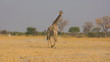Walking giraffe