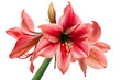 Hippeastrum large flowering Gervase