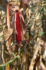 Indian Fall Corn with Husk