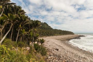 nikau palms growing along West Coast in New Zealand