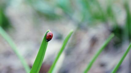 Ladybird walking on a plant.