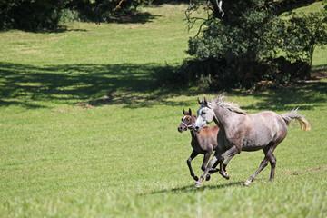 Purebred arabian horses