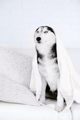 Beautiful cute husky with towel sitting on sofa in white room