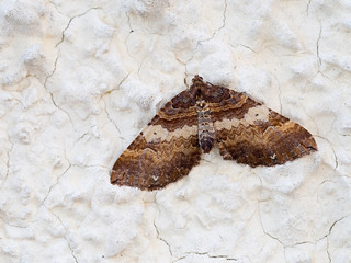 Earophila badiata aka Shoulder-stripe moth on wall. March.