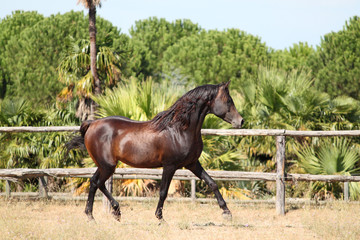 Purebred arabian horse