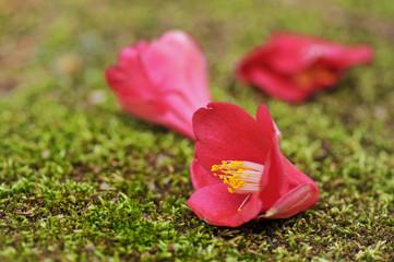落下した椿の花
