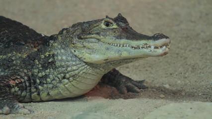 Small crocodile in aquarium