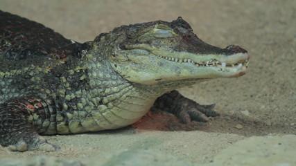 Small crocodile sleeping in aquarium